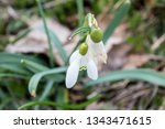 delicate snowdrop flower is one ... | Shutterstock . vector #1343471615