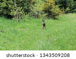 Stock photo a wild hare runs green grass in a field around which the forest 1343509208