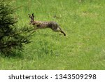 Stock photo a wild hare runs green grass in a field around which the forest 1343509298