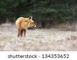 red fox | Shutterstock . vector #134353652