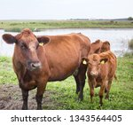 cattle in a pasture on the...   Shutterstock . vector #1343564405
