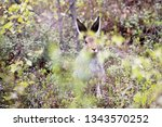 Stock photo funny snout hare hiding in the bushes arctic hare lepus timidus 1343570252