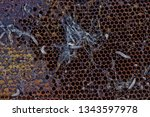 wax moth larvae on an infected...   Shutterstock . vector #1343597978