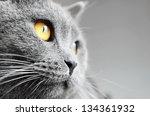British Shorthair Cat Detail ...