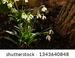 spring white flowers under a... | Shutterstock . vector #1343640848