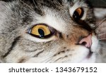 the cat is a small carnivorous... | Shutterstock . vector #1343679152