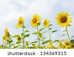 the beautiful sunflower at... | Shutterstock . vector #134369315