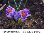 purple primroses spring...   Shutterstock . vector #1343771492
