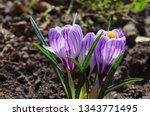 purple primroses spring...   Shutterstock . vector #1343771495