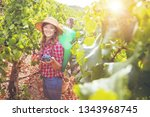 young female harvesting bunch... | Shutterstock . vector #1343968745
