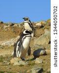 penguins  seagulls. magdalena... | Shutterstock . vector #1344050702