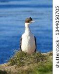 penguins  seagulls. magdalena... | Shutterstock . vector #1344050705