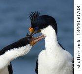 penguins  seagulls. magdalena... | Shutterstock . vector #1344050708