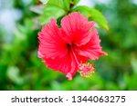 red hibiscus flower | Shutterstock . vector #1344063275