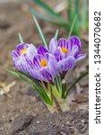 purple primroses spring...   Shutterstock . vector #1344070682