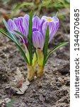 purple primroses spring...   Shutterstock . vector #1344070685
