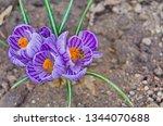 honey bee on spring flower....   Shutterstock . vector #1344070688