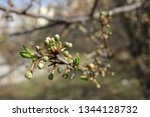 spring orchard tree blooms.... | Shutterstock . vector #1344128732
