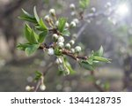 spring orchard tree blooms.... | Shutterstock . vector #1344128735