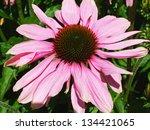 Beautiful Echinacea In The...