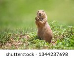 A prairie dog looking at camera curiously
