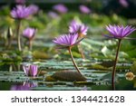 Water Lilies  Lotus Flowers ...