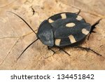 indian cockroach therea... | Shutterstock . vector #134451842