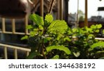 mentha  also known as mint  is... | Shutterstock . vector #1344638192