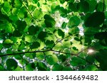 green leaves of trees and sun... | Shutterstock . vector #1344669482