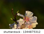 Closeup Of An Almond Blossom...