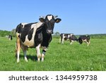 cows  on a summer pasture   Shutterstock . vector #1344959738