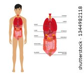 human male body with internal... | Shutterstock .eps vector #1344982118