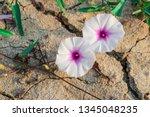 closeup beautiful flowers of... | Shutterstock . vector #1345048235
