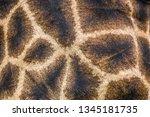 detail of giraffe skin in... | Shutterstock . vector #1345181735