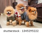 Three Cute Pomeranian Puppy...