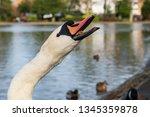 Head Of Cygnus Olor Swan...