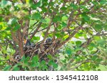 newly hatched baby robins stick ... | Shutterstock . vector #1345412108