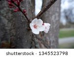 close up shot of blossoming... | Shutterstock . vector #1345523798