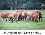 cattle in a pasture on the...   Shutterstock . vector #1345577882