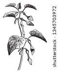 a picture shows aristolochia...   Shutterstock .eps vector #1345703972