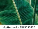 group of  banana green leaves... | Shutterstock . vector #1345858382