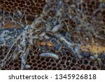wax moth larvae on an infected...   Shutterstock . vector #1345926818