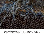 wax moth larvae on an infected...   Shutterstock . vector #1345927322
