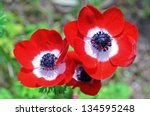 Three Flowers Of Red Anemones...