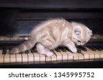 Scottish Fold British Kitten....