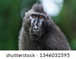 the celebes crested macaque .... | Shutterstock . vector #1346032595