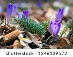 crocus violet in spring with...   Shutterstock . vector #1346139572