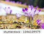 crocus violet in spring with...   Shutterstock . vector #1346139575