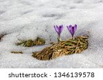 crocus violet in spring with...   Shutterstock . vector #1346139578