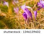 crocus violet in spring with...   Shutterstock . vector #1346139602